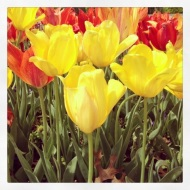 Northpark Tulips